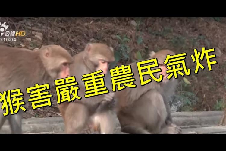 Embedded thumbnail for 專吃玉荷包水蜜桃!猴害嚴重農民氣炸!